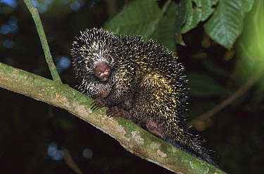 Prehensile-tailed Porcupine (Coendou mexicanum) in the rainforest, Barro Colorado Island, Costa Rica  -  Christian Ziegler