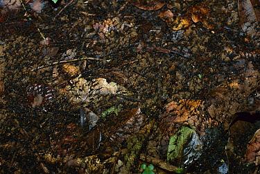 Army Ant (Eciton hamatum) raid, swarming the forest floor up to 50 feet wide, Barro Colorado Island, Panama  -  Christian Ziegler