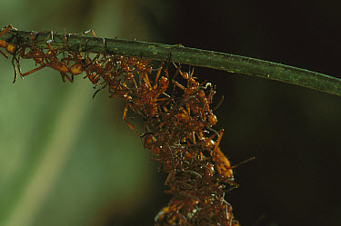 Army Ant (Eciton hamatum) colony forming a bridge by climbing over each other, Barro Colorado Island, Panama  -  Christian Ziegler