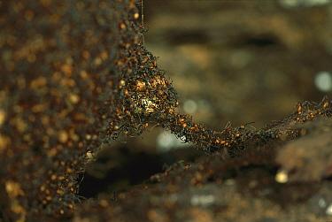 Army Ant (Eciton burchellii) a small ant bridge at the edge of a temporary nest, Barro Colorado Island, Panama  -  Christian Ziegler