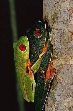 Red-eyed Tree Frog (Agalychnis callidryas) pair mating in amplexus, Soberania National Park, Panama  -  Christian Ziegler