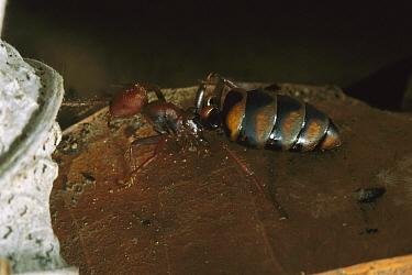 Army Ant (Eciton sp) young Queen showing swollen abdomen, Barro Colorado Island, Panama  -  Christian Ziegler