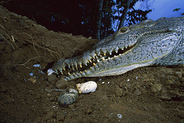 Crocodile, female burying her eggs which she will guard for nearly two months until they hatch  -  Christian Ziegler