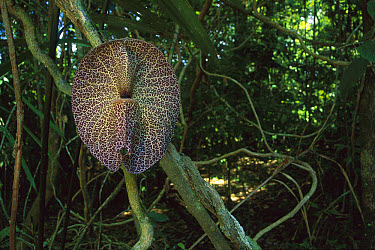 Birthwort (Aristolochia sp) attracts Dung Beetles (Scarabaeinae) and flies with smell mimicking dead carcass, in return these animals aid in pollination, Panama  -  Christian Ziegler