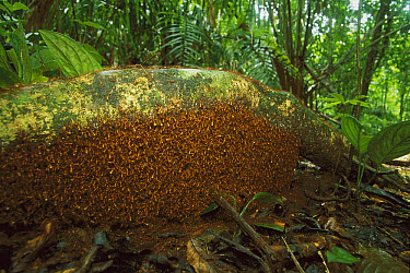 Army Ant (Eciton hamatum) swarm, Barro Colorado Island, Panama  -  Christian Ziegler