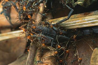 Army Ant (Eciton hamatum) swarm attacking and killing scorpion, Barro Colorado Island, Panama  -  Christian Ziegler