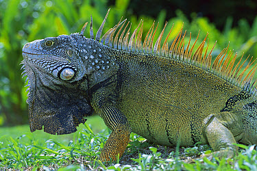 Green Iguana (Iguana iguana) male displaying by extending dewlap, Barro Colorado Island, Panama  -  Christian Ziegler