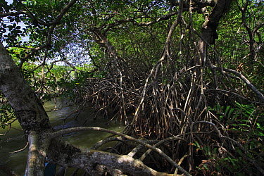 Mangrove (Rhizophora) stand in a lagoon, La Mosquitia, Honduras  -  Christian Ziegler