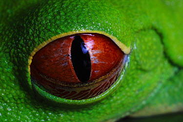 Red-eyed Tree Frog (Agalychnis callidryas) eye with retracting nictitating membrane  -  Christian Ziegler