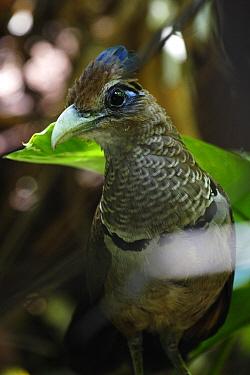 Rufous-vented Ground-Cuckoo (Neomorphus geoffroyi), Pipeline Road, Panama Canal Zone, Soberania National Park, Panama  -  Christian Ziegler