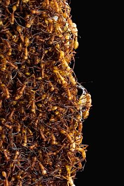 Army Ant (Eciton hamatum) bridge made by ants during a raid, Barro Colorado Island, Panama  -  Christian Ziegler