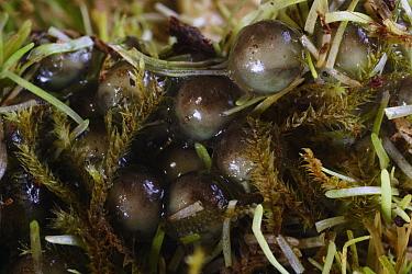 Misfit Leaf Frog (Agalychnis saltator) massive egg aggregation in La Selva, Costa Rica  -  Christian Ziegler