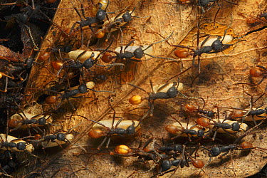 Army Ant (Eciton hamatum) migration of a colony, this species relocates every night and workers transport the larvae and food, Barro Colorado Island, Panama  -  Christian Ziegler