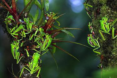 Misfit Leaf Frog (Agalychnis saltator) mass mating in La Selva, Costa Rica  -  Christian Ziegler