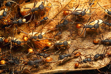 Army Ant (Eciton sp) colony emigration, this species relocates every night and workers transport the larvae and food. Barro Colorado Island, Panama  -  Christian Ziegler