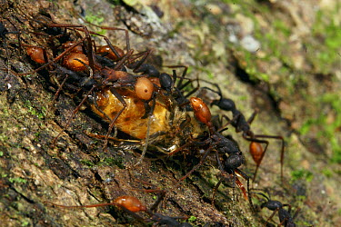 Army Ant (Eciton burchellii) raiding a nest of killer bees, Barro Colorado Island, Panama  -  Christian Ziegler