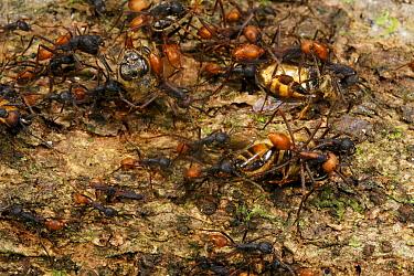 Army Ant (Eciton sp) raiding a nest of killer bees on Barro Colorado Island, Panama  -  Christian Ziegler
