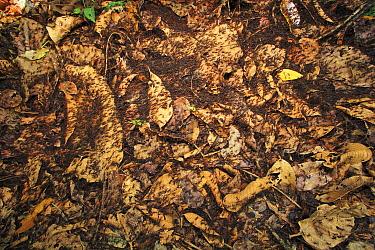 Army Ant (Eciton sp) swarm raid, Soberania National Park, Panama  -  Christian Ziegler