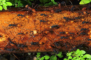 Army Ant (Eciton sp) emigration of a colony. This species relocates every night and workers transport the larvae and food, Barro Colorado Island, Panama  -  Christian Ziegler