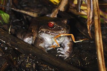 Foam-nest Frog (Leptodactylus sp) feeding on a Red-eyed Tree Frog (Agalychnis callidryas) at a mating pond, Soberania National Park, Panama  -  Christian Ziegler