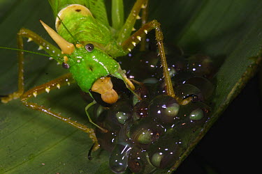 Rhinoceros Spearbearer (Copiphora rhinoceros) feeding on developping eggs of the Red-Eyed Tree Frog (Agalychnis callidryas) initiation spontanious hatching behavior of the embryos, La Selva, Costa Ric...  -  Christian Ziegler