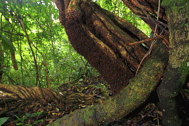 Army Ant (Eciton sp) bivouac (temporary nest) made of hundreds of thousands of ant bodies, Soberania National Park, Panama  -  Christian Ziegler