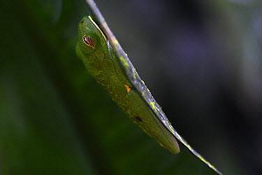 Red-eyed Tree Frog (Agalychnis callidryas) on a leaf hanging over a pond in La Selva, Panama  -  Christian Ziegler