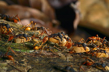 Army Ant (Eciton burchellii) emigration of the colony, this species relocates every night and workers transport the larvae and food, Barro Colorado Island, Panama  -  Christian Ziegler