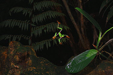 Misfit Leaf Frog (Agalychnis saltator) parachuting from the canopy to the forest floor, This behavior is thought to reduce predation risk  -  Christian Ziegler