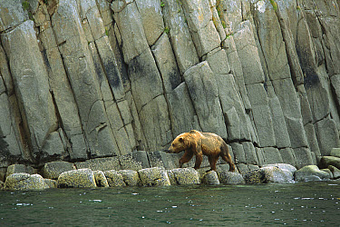 Grizzly Bear (Ursus arctos horribilis) walking along steep rocky shoreline, Katmai National Park, Alaska  -  Suzi Eszterhas