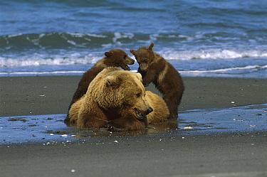 Grizzly Bear (Ursus arctos horribilis) sow and playful young cubs on shore, Katmai National Park, Alaska  -  Suzi Eszterhas
