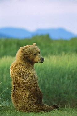 Grizzly Bear (Ursus arctos horribilis) female sitting upright, Katmai National Park, Alaska  -  Suzi Eszterhas