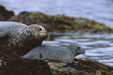Harbor Seal (Phoca vitulina) mother and pup, Point Lobos State Reserve, California  -  Suzi Eszterhas