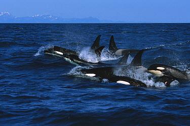 Orca (Orcinus orca) pod surfacing, Kenai Fjords National Park, Alaska  -  Suzi Eszterhas