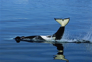 Orca (Orcinus orca) tail slapping, Prince William Sound, Alaska  -  Suzi Eszterhas