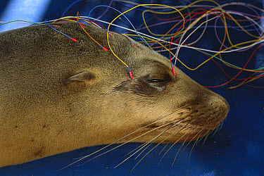 California Sea Lion (Zalophus californianus) in rehab center on EEG being tested for domoic acid poisoning from algal blooms, Marine Mammal Center, Marin county, California  -  Suzi Eszterhas