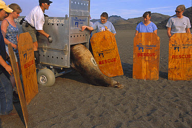 California Sea Lion (Zalophus californianus) bull being released by Marine Mammal Center staff, California  -  Suzi Eszterhas