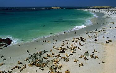 California Sea Lion (Zalophus californianus) rookery at Point Bennet on San Miguel Island, Channel Islands National Park, California  -  Suzi Eszterhas