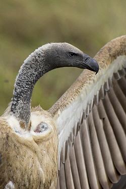 White-backed Vulture (Gyps africanus) drying it's wings, Masai Mara National Reserve, Kenya  -  Suzi Eszterhas