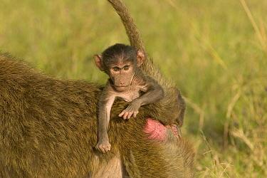 Yellow Baboon (Papio cynocephalus) infant clinging to mother's back for ride, Masai Mara National Reserve, Kenya  -  Suzi Eszterhas