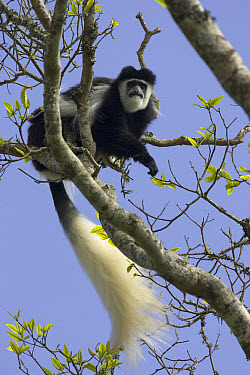 Mantled Colobus (Colobus guereza) in tree, Aberdare National Park, Kenya  -  Suzi Eszterhas