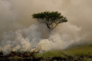 A controlled burn sweeping across the savanna engulfing an Acacia tree in smoke, Masai Mara Reserve, Kenya  -  Suzi Eszterhas