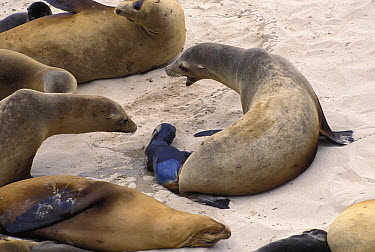 California Sea Lion (Zalophus californianus) giving birth, San Miguel Island, Channel Islands National Park, California  -  Suzi Eszterhas