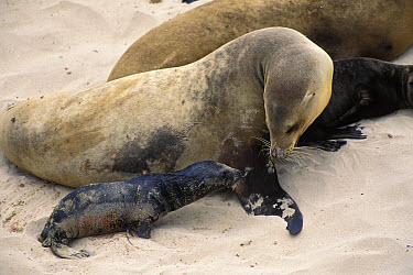 California Sea Lion (Zalophus californianus) mother and newborn pup, San Miguel Island, Channel Islands National Park, California  -  Suzi Eszterhas