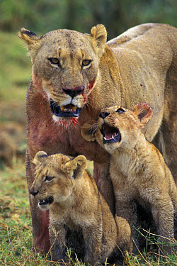 African Lion (Panthera leo) mother and young cubs, Ngorongoro Conservation Area, Tanzania  -  Suzi Eszterhas