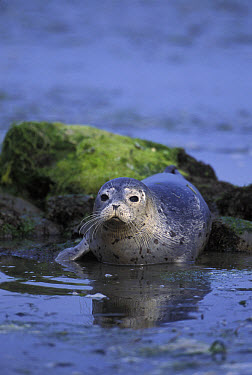 Harbor Seal (Phoca vitulina) three week old pup, Elkhorn Slough, Monterey Bay, California  -  Suzi Eszterhas