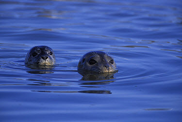 Harbor Seal (Phoca vitulina) female surfaces with pup behind her, Elkhorn Slough, Monterey Bay, California  -  Suzi Eszterhas