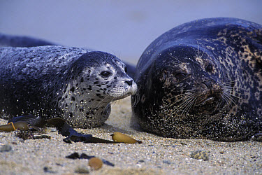 Harbor Seal (Phoca vitulina) female with her young pup, Monterey Bay, California  -  Suzi Eszterhas