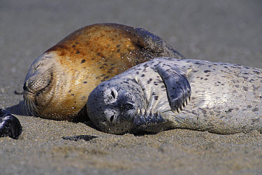 Harbor Seal (Phoca vitulina) young pup scratching chin, Elkhorn Slough, Monterey Bay, California  -  Suzi Eszterhas