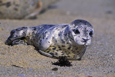 Harbor Seal (Phoca vitulina) young pup less than one week old, Elkhorn Slough, Monterey, California  -  Suzi Eszterhas